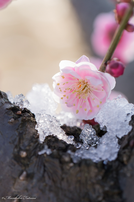 Searching for Plum Blossoms in Snow