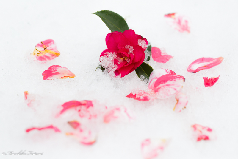 Camellia on the Snow