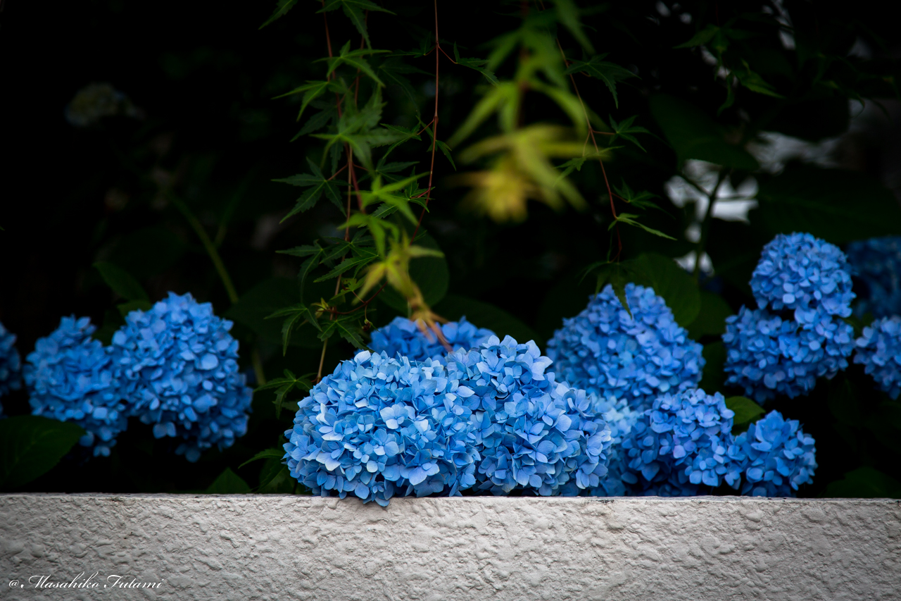 With Hydrangeas