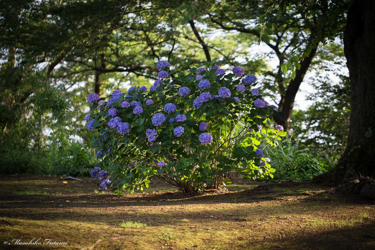 Tree of Hydrangea