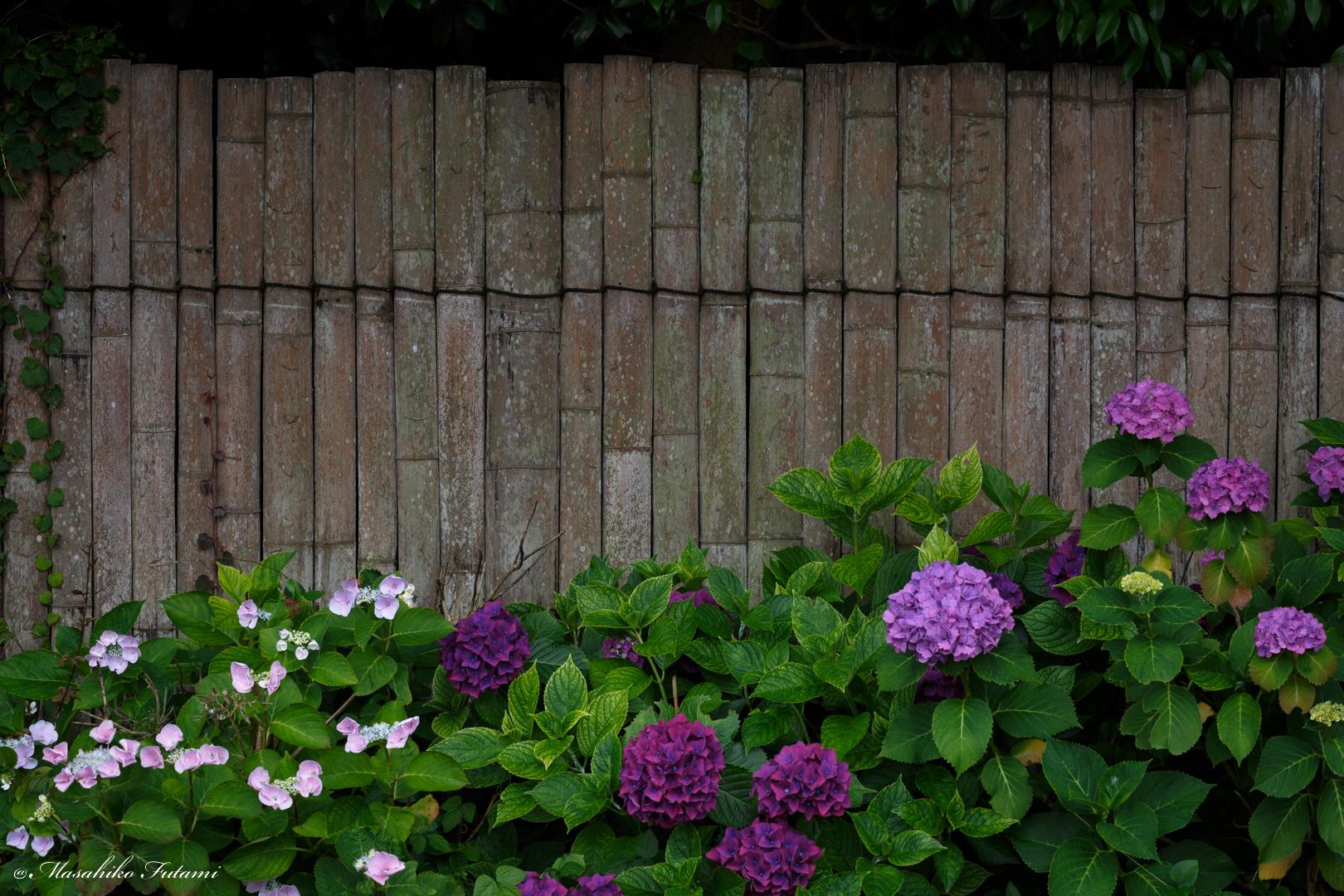 Hydrangea of Bamboo Fence