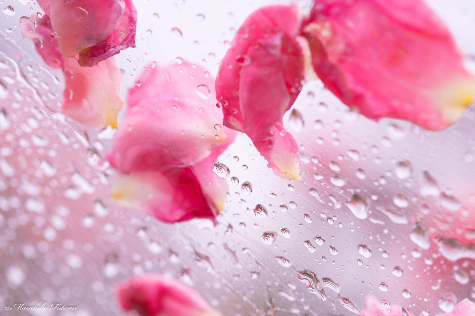 A Little Shower of Rose Petals