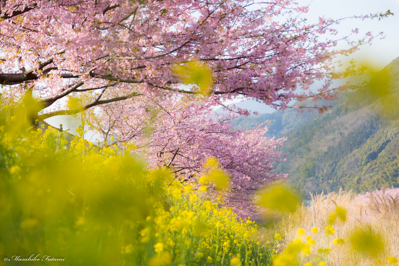 Kawazu Cherry Blossoms and Rape Blossoms