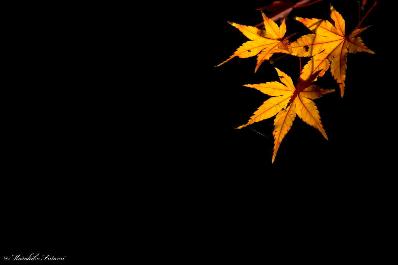 Maple Leaves Swaying