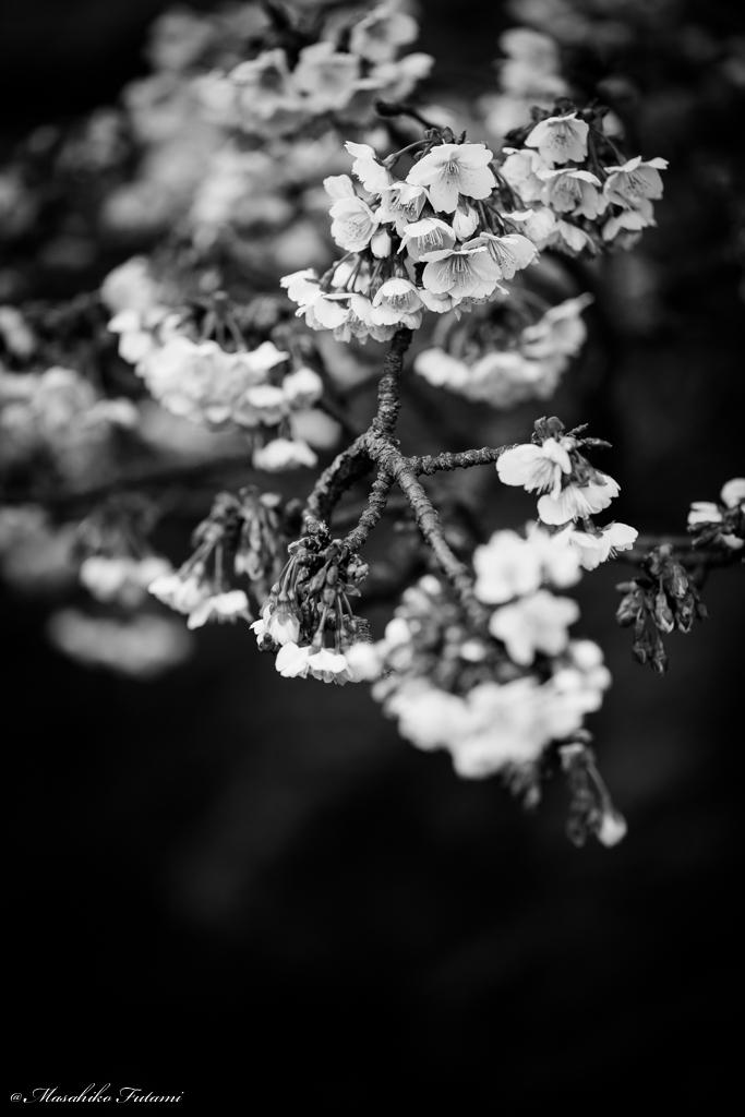 Cherry Tree of Monochrome