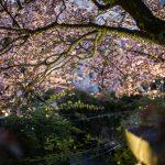 人々の心を捉える儚い桜と日本文化 / 春・夜桜の撮り方