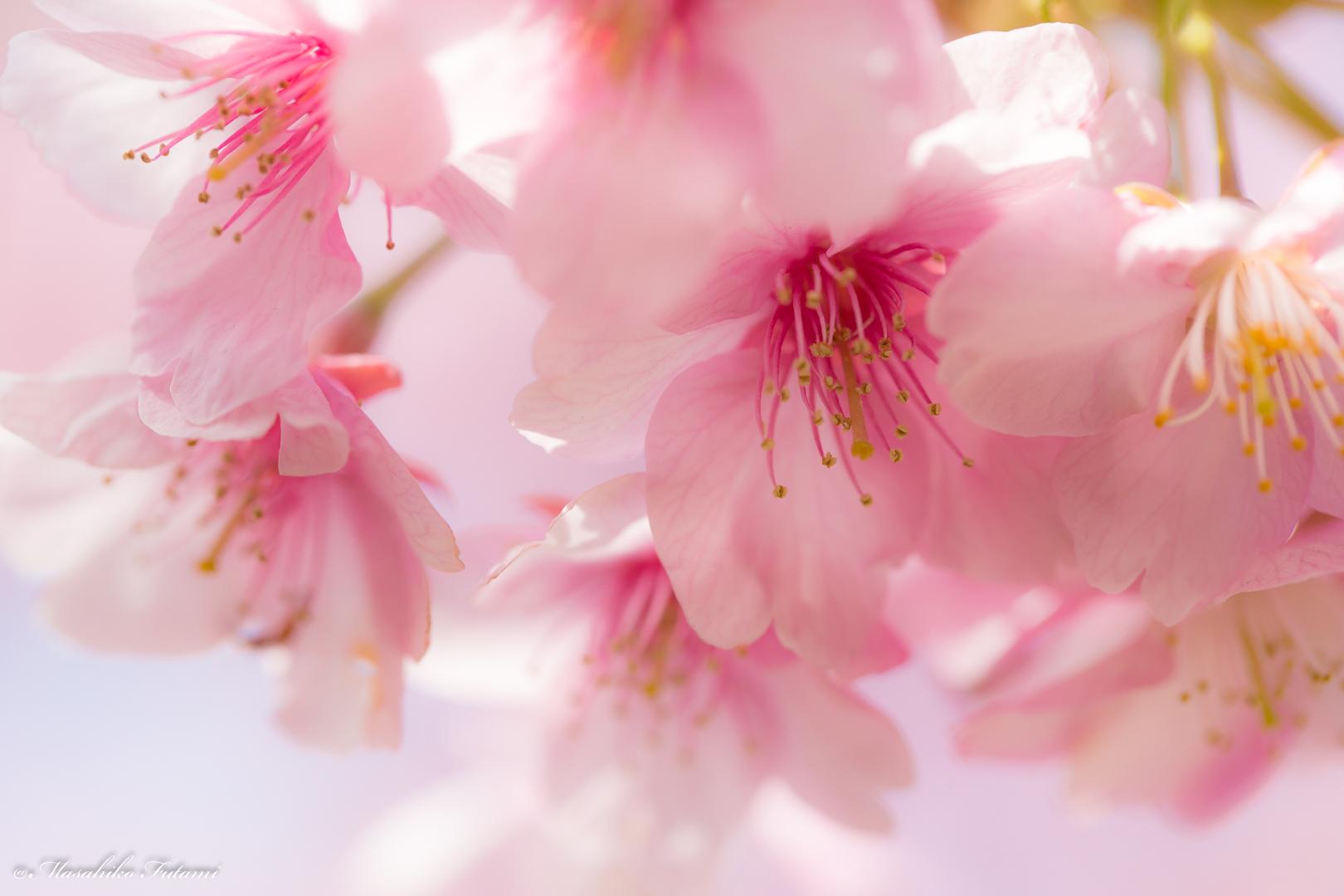 Shower of Kawazu Cherry Blossoms